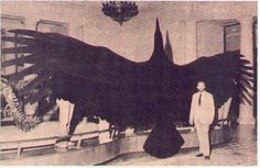 An old photo of what appears to be an authentic thunderbird. Photo courtesy of http://www.cryptozoology.com/gallery/content776/bigbird_12984635.jpg:
