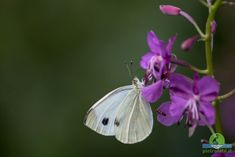 Pieris rapae - Small white butterfly