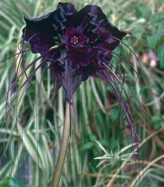 """type of Lily called a """"Black Bat"""" 