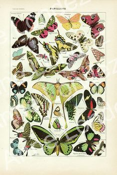 Butterflies vintage illustration 1922 Giclee Print French home decor dictionary page