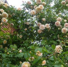 Rosa pimpinellifolia frühlingsduft. Bågböjda grenar, skuggtålig, aprikos till rosa blommor.