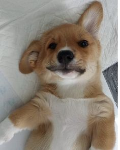 Reposting @corgeezbrand: I woke up like dis  #dog #dog #puppy #giveaway #pup #cute #eyes #corgi #dogs_of_instagram #pet #pets