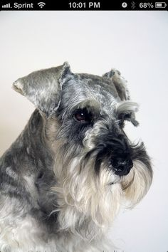 Schnauzer!!!...I am almost always more enamored by their faces...everyone of them...
