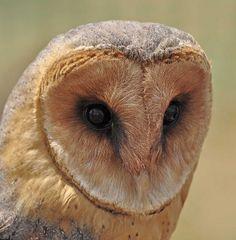 African Barn Owl #Owl #BirdsofPrey #BirdofPrey #Bird of Prey