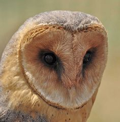 }{ African Barn Owl