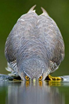Sparrowhawk, Pusztaszer, Hungary. Photo by Bence Mate