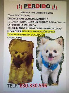 Animales Perdidos y encontrados. Murcia: RATÓN, PERRO TAMAÑO PEQUEÑO, COLOR BLANCO, CON CHI...
