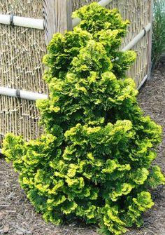 Verdoni Gold Hinoki Cypress