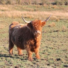 I love cows but nothing beats the having a highland cattle looking at you curiously! Its a true connection guys. The best place to see the Highland cattle is in the Scotland obviously. The Scots call it hairy coos! As much as it is easy to simply say Ye jist hae tae visit scootlund an' ye will fin' th' hairy coos it is not as easy as that. I went on a 2-weeks road trip all over Scotland finding them. So I complied a list of specific places that you can definitely see the highland cattle…