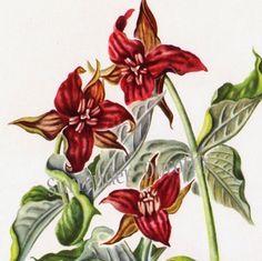 Red Trillium Flowers Botanical Print Wildflowers 1950s