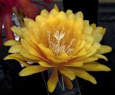 Epiphyllum Yellow Tang