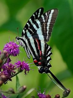 Spectacular butterfly