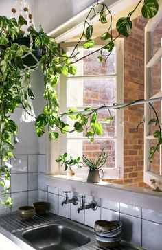 Indoor trailing plants in kitchen with open windows.