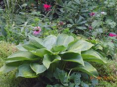 Empress Wu hosta in our front yard - North-East - she gets the morning sun only.