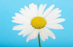 Bright Daisy Wall Mural, custom made to suit your wall size. Custom design service and express delivery available. Large Floral Wallpaper, Daisy Wallpaper, Cute Flower Wallpapers, Image 4k, Laptop Backgrounds, Blue Daisy, Latest Wallpapers, Backrounds, Service Design