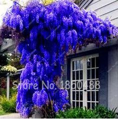 10 seeds/bag Hot Sale Rare Blue Wisteria Tree Seeds Indoor Ornamental Plants Seeds Wisteria Flower Seeds,Beautiful Home Garden