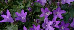 Birch Hybrid Bellflower