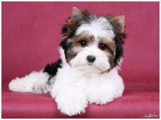 Biewer Yorkshire Terrier puppy #yorkshireterrier