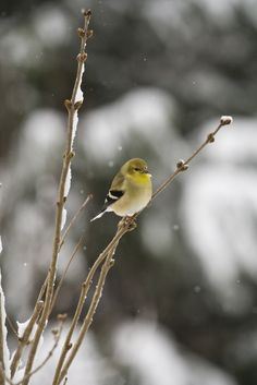 Goldfinch?  Lesser Goldfinch?  Most goldfinch pictures look much brighter yellow, but this one looks like what we have in our yard today (January, Utah).