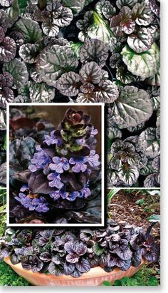 Plants Management Australia Pty Ltd Black scallop ajuga Frost tolerant Full sun to shade  Shelter from afternoon sun