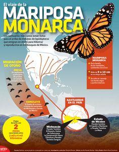 Cada año millones de mariposas monarca viajan desde Canadá y EU hacia los bosques mexicanos para hibernar y reproducirse. #Infographic