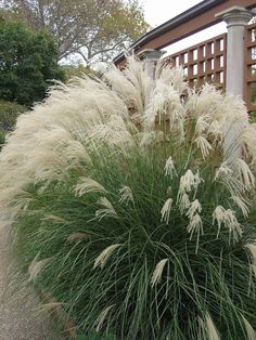 1000 images about ornamental plumes on pinterest for Ornamental grasses with plumes
