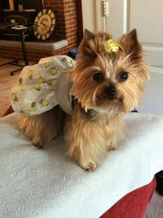 Most people dont have thejr yorkies as cute as this one, shes a little beauty. Caiti