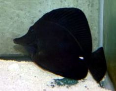 Hawaiian Longnose Black Tang