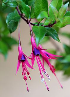 fuchsia glazioviana. this is one of my all time favorites.