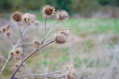 A dry thistle