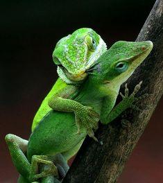 Green Anole lizards QUERIDO, EU TAMBÉM TE AMO !!!
