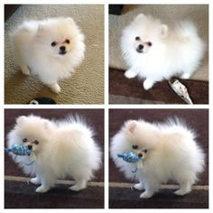 White Pomeranian puppy poofball