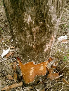 why would anyone do this to a tree in the middle of nowhere. shaving off the bark will slowly kill it. stupid humans.