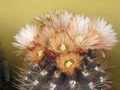 Kaktusy v regióne Vysoké Tatry a Spiš Plants, Plant, Planets