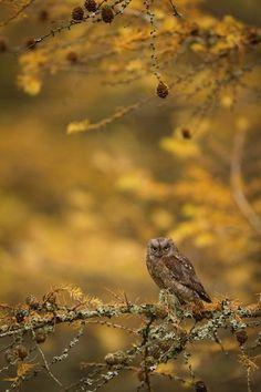 500px 上の Tomáš Hilger の写真 Scops owl