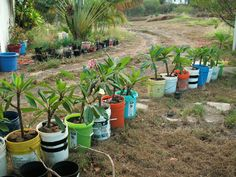 How to Grow Plumeria. I love these flowers.