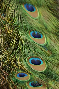Anal peacock feathers