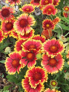 yard, oklahoma, colors, cutting garden, flower gardening, perennial plants, blankets, blanket flower, cut flowers