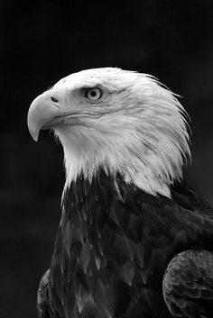 años/black and white Pop Art Wallpaper, Black Wallpaper Iphone, Animal Wallpaper, Animal Paintings, Animal Drawings, Eagle Artwork, Aggressive Animals, Eagle Drawing, Black Paper Drawing
