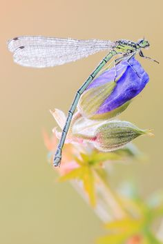 Greenish -blue Damsel by Siegfried Tremel**