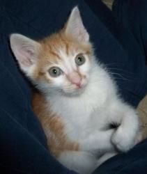 Muenster (pair only, with Brie) is an adoptable Domestic Short Hair - Orange And White Cat in Brookline, MA. Here's Muenster! Absolutely the most handsome boy around, with polydactal paws in the front...