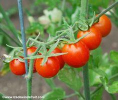 Peacevine Cherry Tomato Seeds + FREE Bonus 6 Variety Seed Pack - a $30 Value!