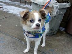 SUPER URGENT! SWEET SENIOR! 1/14/14 Manhattan Center  BETTY - A0989013 *** SAFER: AVERAGE HOME *** SPAYED FEMALE, BROWN / WHITE, PAPILLON MIX, 10 yrs OWNER SUR - AVAILABLE, HOLD RELEASED Reason PETS CONFL  Intake condition NONE Intake Date 01/08/2014, From NY 10009, DueOut Date 01/09/2014  https://www.facebook.com/photo.php?fbid=739278726085009&set=a.617942388218644.1073741870.152876678058553&type=3&permPage=1