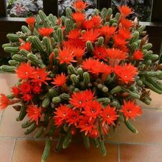 """Echinopsis chamaecereus is a species of cactus from Argentina. Synonyms include Chamaecereus silvestrii and Lobivia silvestrii. It has been called the """"peanut cactus"""". Cacti And Succulents, Planting Succulents, Planting Flowers, Cactus Planta, Cactus Y Suculentas, Orquideas Cymbidium, Desert Plants, Exotic Plants, Trees To Plant"""