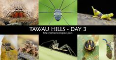 Day 3 at Tawau Hills was littered with several unexpected surprises, but our main goal for the day was to capture shots of Pyrops whiteheadi, popularly known as the blue-snout lantern bug. I'm very glad that we managed to shoot not 1, but 3 of them together at knee level! It was unfortunate that they flew away before we could take more shots, but the sight itself was undoubtedly unforgettable. If you love bugs and macro photography, the next Borneo Bootcamp in June will be perfect for you!