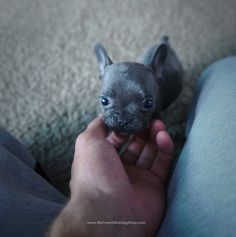 A Baby Blue French Bulldog Puppy