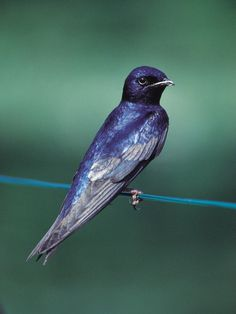 Purple Martin...love these birds My Grandma had a bird house built for them. They are wonderful to have around.