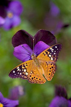Hackberry, butterfly