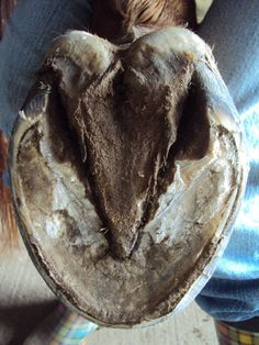 Natural Trimming Series, Part 1: The Sole: The sole of the hoof should be your primary guide with the natural trim.