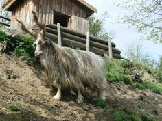 Jun Makes Stuff: #81 The Goat (Girgentana Goat)